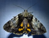 Catocala crataegi - 8858 - Hawthorn Underwing Moth