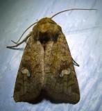 Amphipoea-americana - 9457 - American Ear Moth