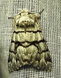 Panthea furcilla - 9182 - Eastern Panthea Moth