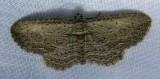 Horisme intestinata - 7445 - Brown Bark Carpet Moth
