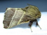 Malacosoma americana - 7701 - Eastern Tent Caterpillar