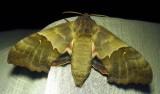 Pachysphinx modesta - 7828 - Modest Sphinx