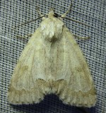 Acronicta innotata - 9207 - Unmarked Dagger