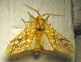 Lophocampa caryae - 8211 - Hickory Tussock Moth