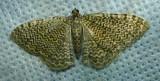 Rheumaptera prunivorata - 7292 - Cherry Scallop Shell