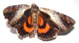Catocala ultronia - 8857 - Ultronia Underwing
