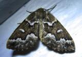 Caripeta divisata - 6863 - Gray Spruce Looper