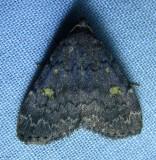 Idia aemula - 8323 - Common Idia