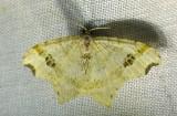 Common Angle - 6326 -  Macaria aemulataria