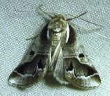 Doubleday's Baileya Moth - 8969 - Baileya doubledayi