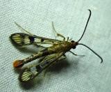 Synanthedon acerni - 2554 - Maple Callus Borer