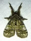 Dasychira plagiata - 8304 - Northern Pine Tussock Moth