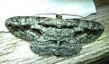 Anavitrinella pampinaria - 6590 - Common Gray