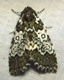 Cerma cora - 9061 - Owl-eyed Bird-dropping Moth
