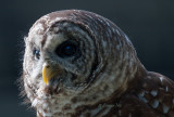 Barred-Owl in the Light