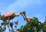 Spoonbill Lovers