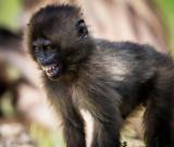 Gelada Baboons