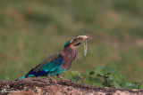 Ghiandaia indiana e la sua preda , Indian roller and his prey