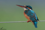 Martin pescatore , Common kingfisher