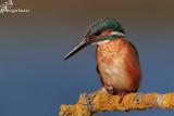 Martin pescatore femmina , Kingfisher female