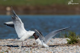 Gabbiani comuni , Black-headed gulls