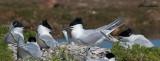 Sterne beccapesci , Sandwich tern