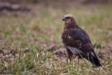 Falco di palude , Marsh harrier