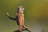Cannareccione , Great reed-warbler