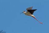 Cavaliere d'italia , Black-winged stilt