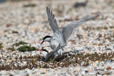 Accoppiamento di Sterna comune , Common tern mating