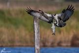 Falco pescatore, Osprey