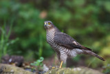 Sparviero , Eurasian sparrowhawk