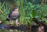 Sparviero, Eurasian Sparrowhawk