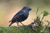 Storno , Common starling