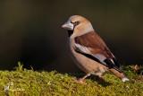 Frosone ,  Hawfinch
