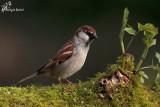 Passera d'italia , Italian sparrow