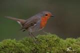 Pettirosso,Robin