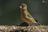 Verdone , European greenfinch