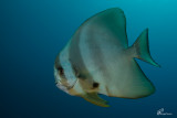 Pesce pipistrello , Batfish