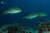 Grugnitore striato , Yellow-banded sweetlips