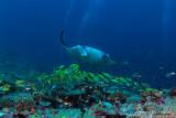 Manta alla stazione di pulizia , Reef manta at the cleaning station