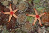 Stelle marine , Stars
