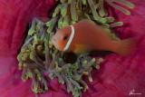 Pesce pagliaccio delle Maldive , Maldives anemonefish