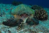 Tartaruga verde,Green sea turtle