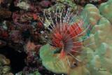 Pesce scorpione , Spotfin lionfish