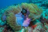 Anemone e dascyllus, Magnificent sea anemone and threespots dascyllus