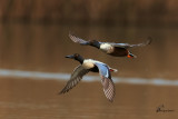 Mestoloni in volo , Northern shoveler in flight