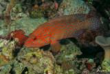Cernia dei coralli, Coral hind