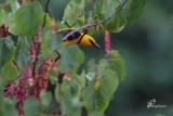 Rigogolo nascosto tra le foglie , Eurasian golden oriole hidden among the foliage