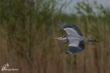 Airone cenerino , Grey heron